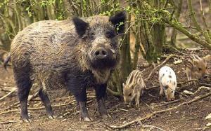Wild pigs of Wellington